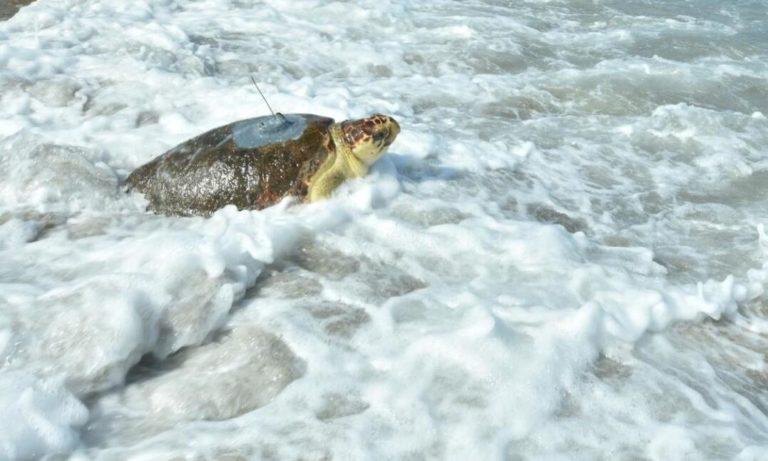 Куда направляется морская черепаха Астрид после выздоровления?