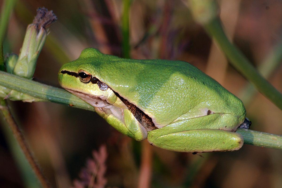 Животные кипра. Древесная лягушка (Hyla savignyi). Ларнака, Кипр