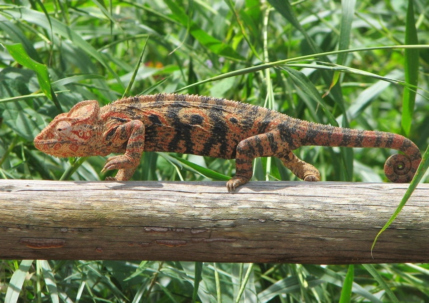 Животные кипра. Обыкновенный хамелеон. Ороклини, Ларнака, Кипр
