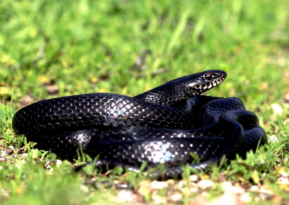 Животные кипра. Змея. Ларнака, Кипр