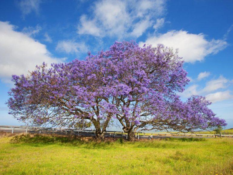 Деревья Северного Кипра