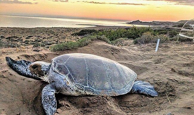 Требуются волонтеры для проекта по защите гнезд морских черепах