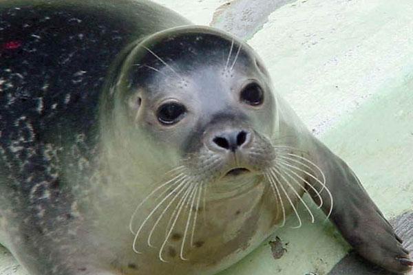 Тюлень редкого вида на Северном Кипре